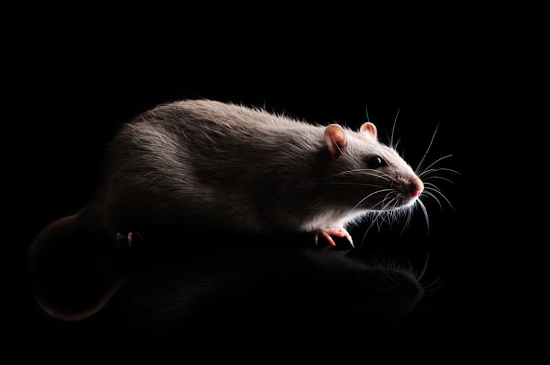 Nature Story: rats in dreams meaning