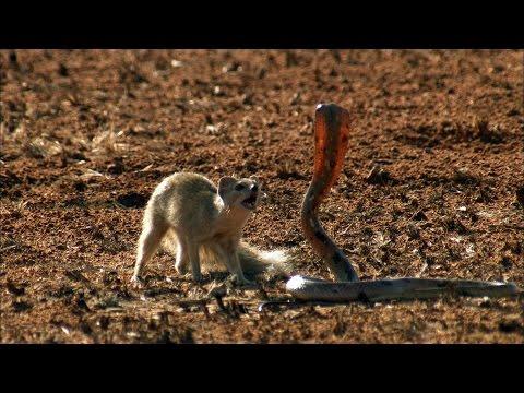 География Story: Невероятное видео битвы мангуста и кобры!