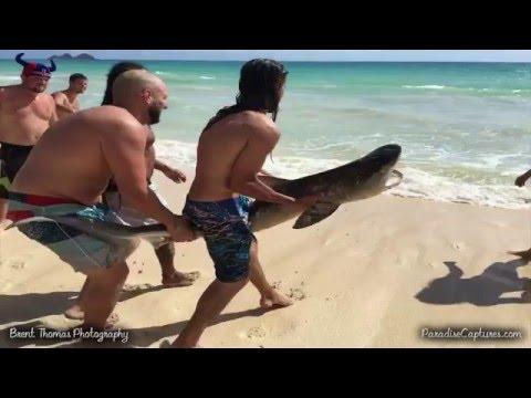 География Story: Видео чудесного спасения тигровой акулы на Гаваях!