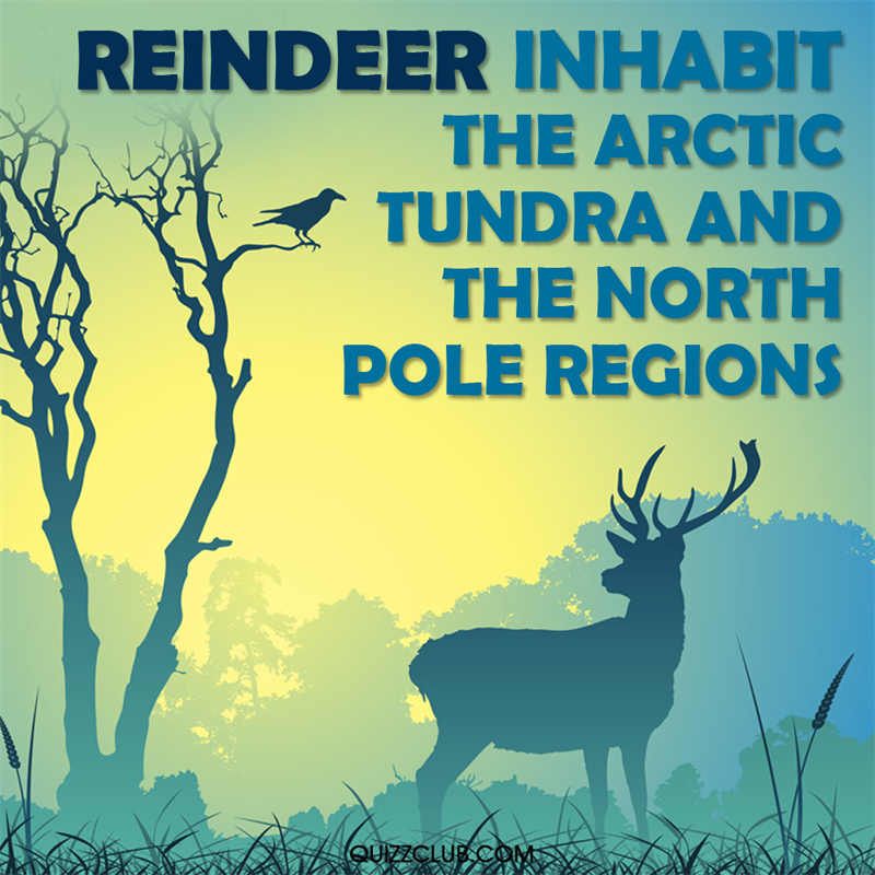 Culture Story: Reindeer inhabit the arctic tundra and the north pole regions