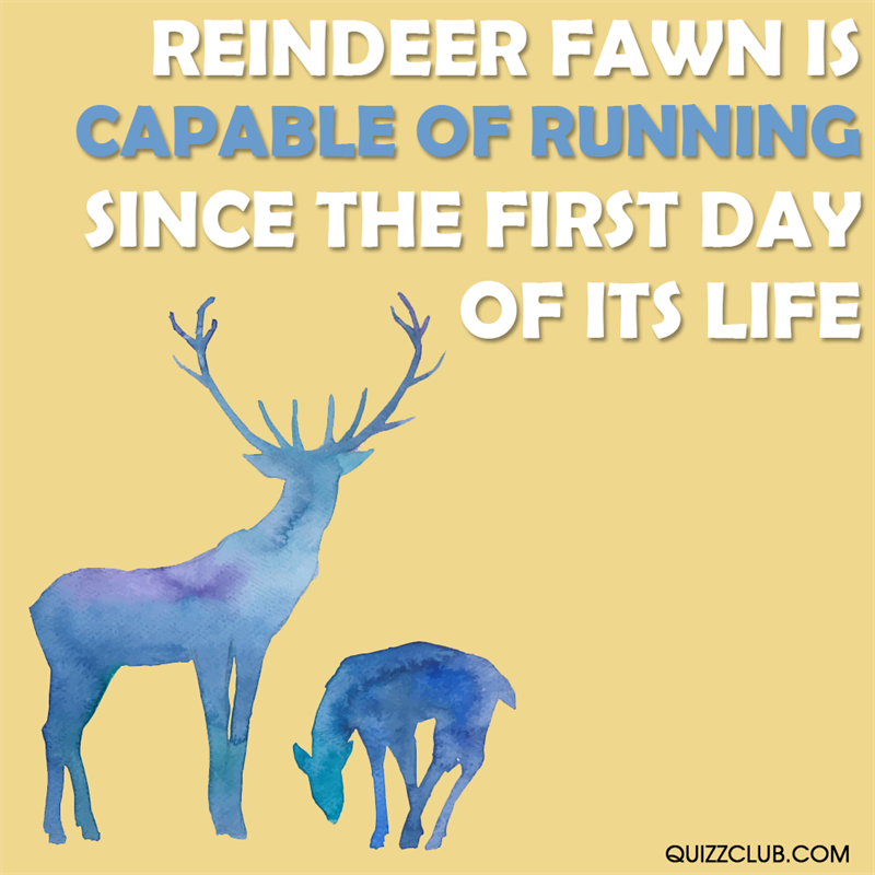 Culture Story: Reindeer fawn is capable of running since the first day of its life