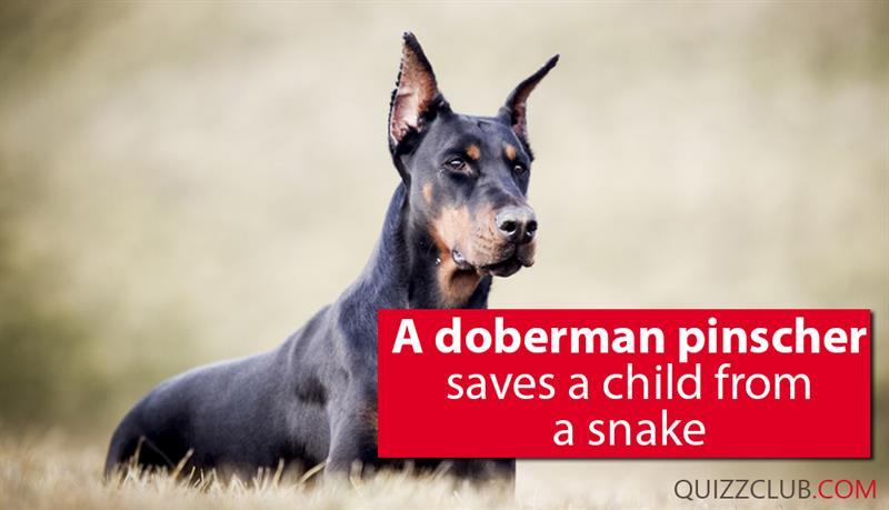 Society Story: A Doberman Pinscher saves a child from a snake
