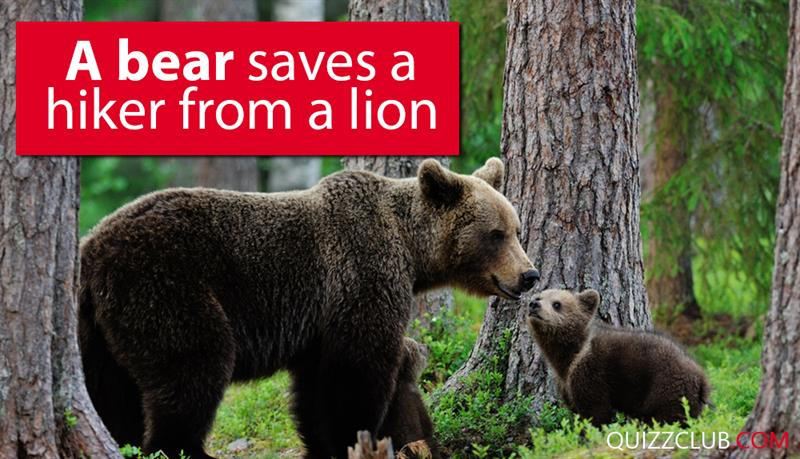 Society Story: A bear saves a hiker from a lion