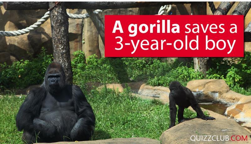 Society Story: A gorilla saves a 3-year-old boy