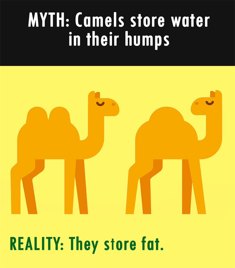 Nature Story: MYTH: Camels store water in their humps. REALITY: They store fat.