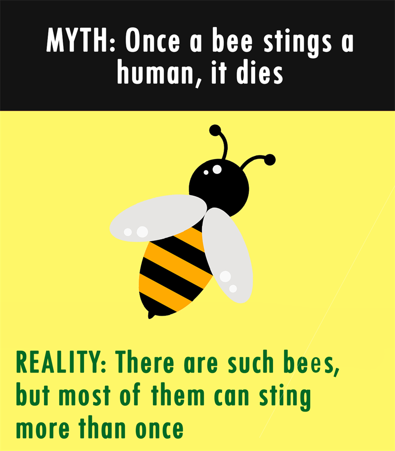 Nature Story: MYTH: Once a bee stings a human, it dies. REALITY: There are such bees, but most of them can sting more than once.