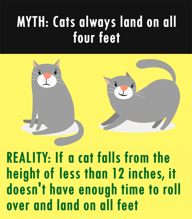 Nature Story: MYTH: Cats always land on all four feet. REALITY: If a cat falls from the height of less than 12 inches, it doesn't have enough time to roll over and land on all feet.
