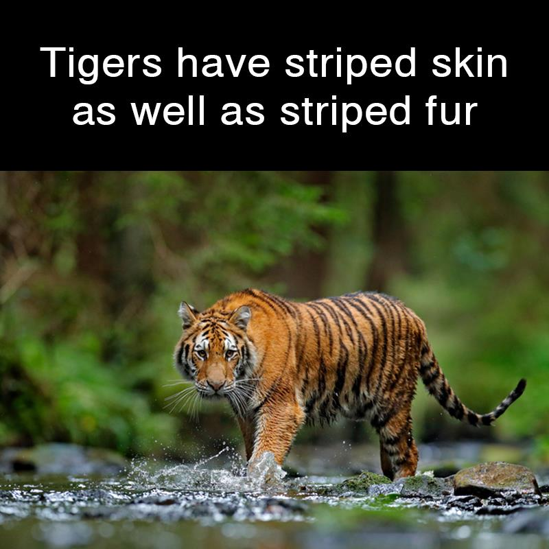 Geography Story: Tigers have striped skin as well as striped fur