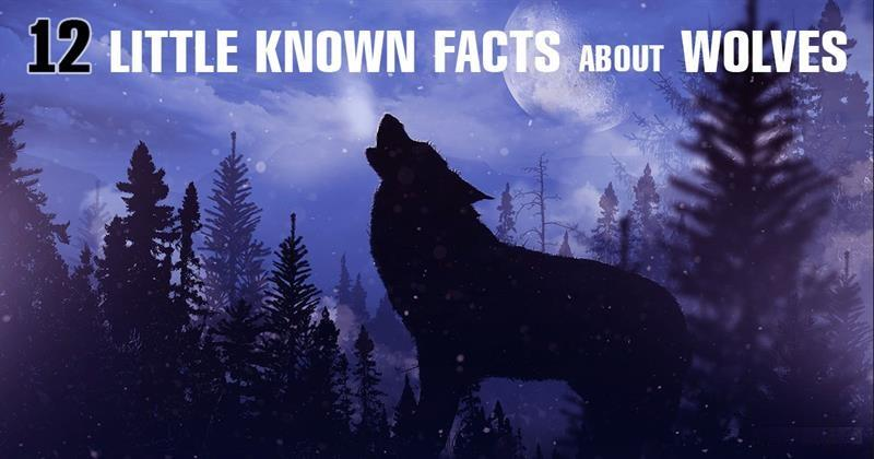 Nature Story: How much do you know about wolves in the wilderness?