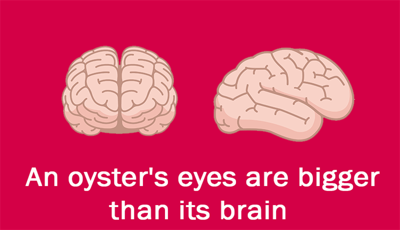 Culture Story: An oyster's eyes are bigger than its brain.