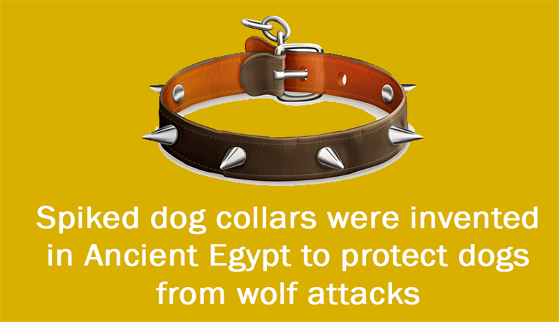 Culture Story: Spiked dog collars were invented in Ancient Egypt to protect dogs from wolf attacks
