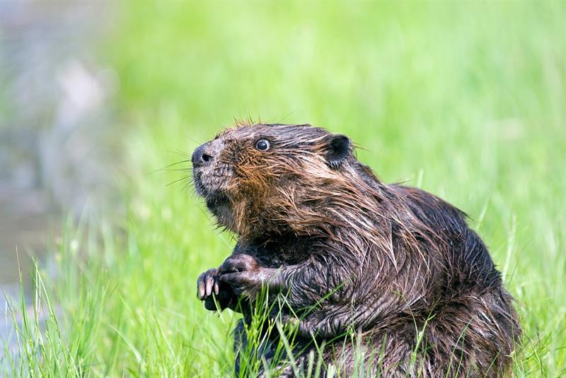 animals Story: #1 Beaver teeth never stop growing, so beavers constantly have to gnaw trees to control their length