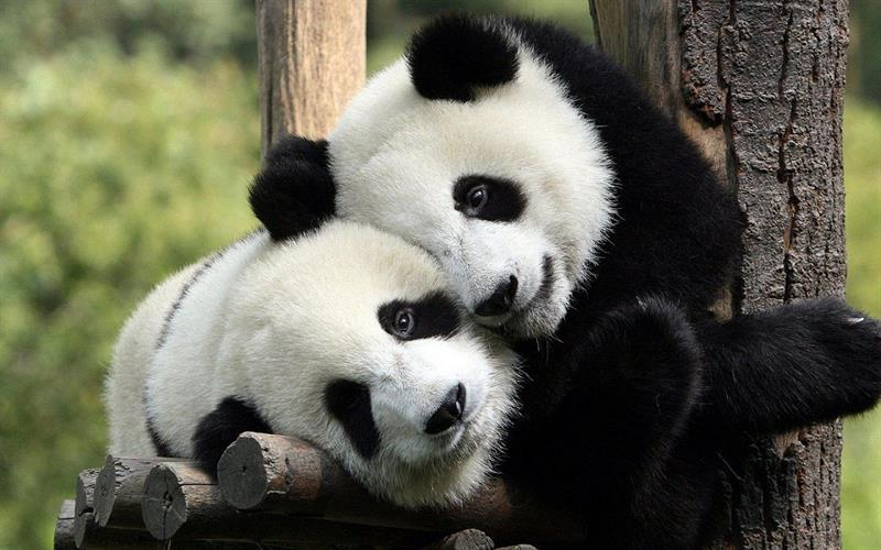 Geography Story: Beautiful and rare pandas: peculiarities you don't know about