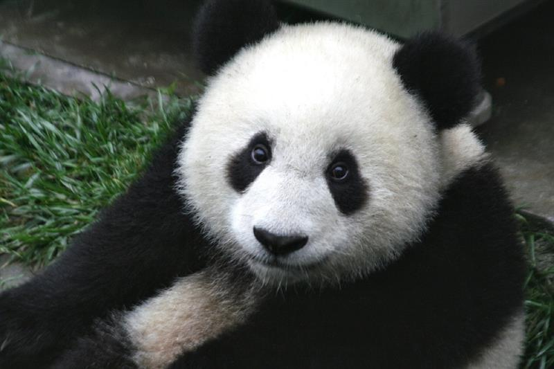 Culture Story: #9 All pandas are owned by China's government. The only pandas outside China are leased by the Chinese authorities. If cubs are born in a foreign country they are also considered to be the property of Beijing