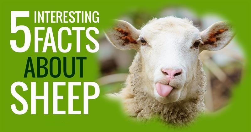 Nature Story: 5 things you didn't know about sheep's life