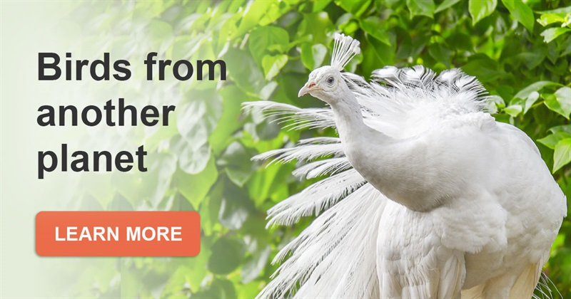 Nature Story: White peacocks: have you seen such beauty?