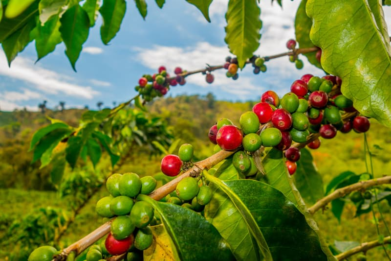 Sport Story: #12 To get one kilogram of coffee you will need to pick berries from two coffee trees