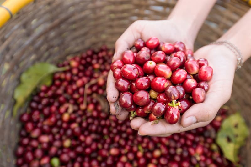 Sport Story: #6 Do you know that people ate coffee beans first?