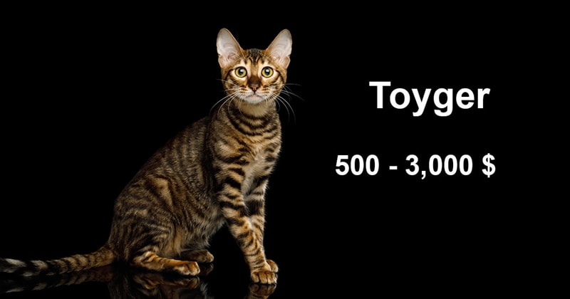 animals Story: The most expensive and gorgeous cat breeds #10