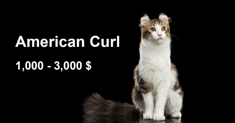 animals Story: The most expensive and gorgeous cat breeds #12