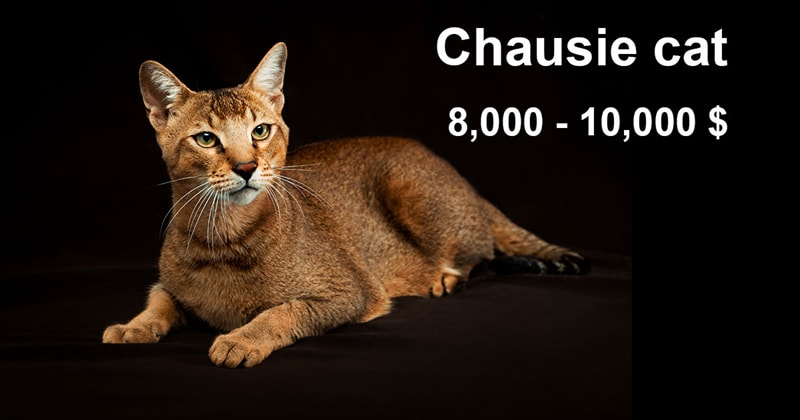 animals Story: The most expensive and gorgeous cat breeds #15