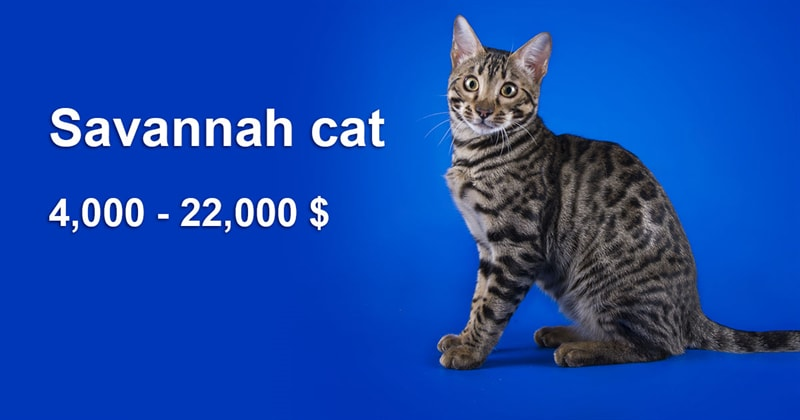 animals Story: The most expensive and gorgeous cat breeds #16