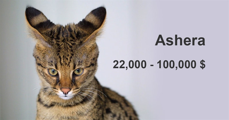 animals Story: The most expensive and gorgeous cat breeds #17