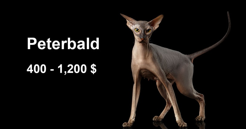 animals Story: The most expensive and gorgeous cat breeds #4