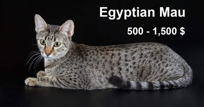 animals Story: The most expensive and gorgeous cat breeds #5
