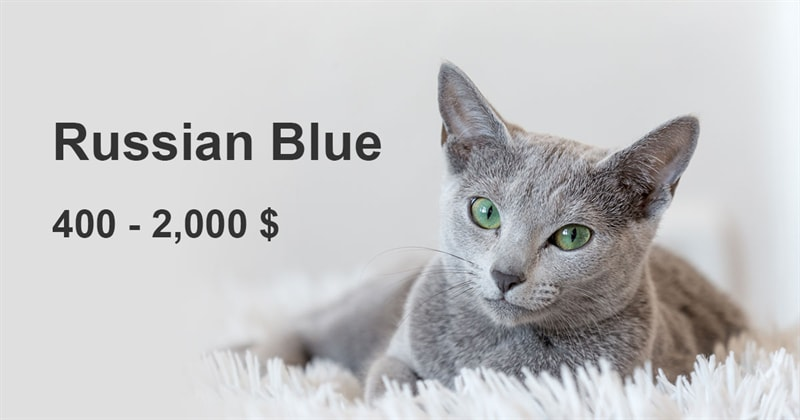 animals Story: The most expensive and gorgeous cat breeds #8