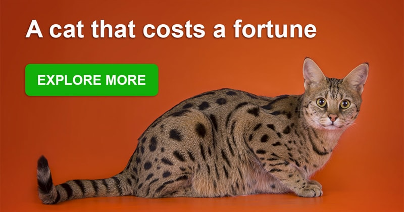 animals Story: The most expensive and gorgeous cat breeds