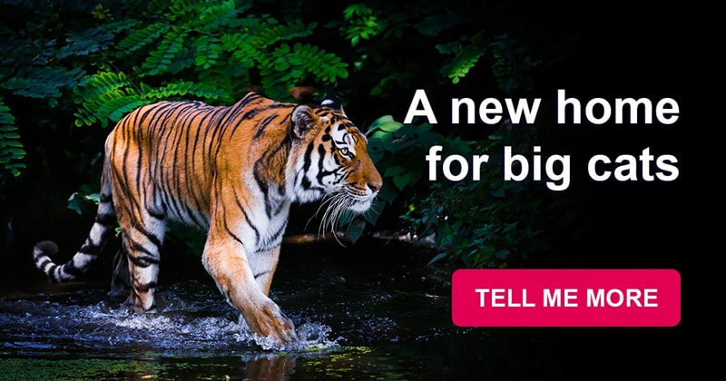 Nature Story: A giant reserve will be built in China to save the Amur tigers