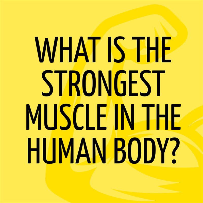 Science Story: What is the strongest muscle in the human body?
