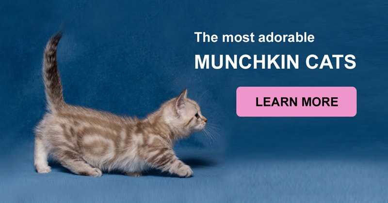animals Story: If you want your kitten to stay small forever, munchkins are perfect for you!