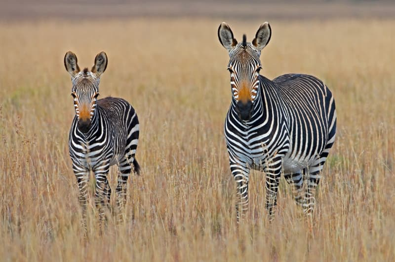 Culture Story: #4 You can meet free-roaming wild animals in Africa