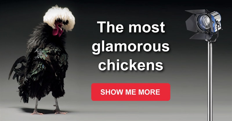 Nature Story: The most gorgeous chickens you've hardly seen before