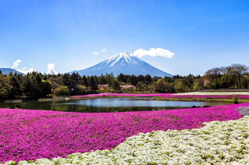knowledge Story: #9 Mount Fuji, the highest in Japan, and arresting pink colors of Shiba-sakura
