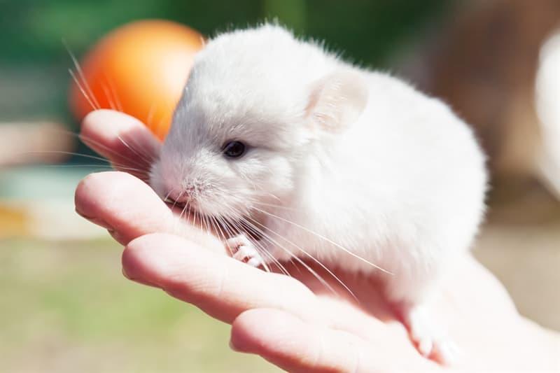 animals Story: Baby chinchilla