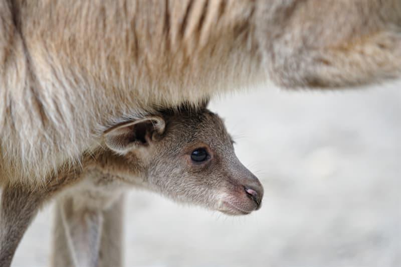 animals Story: Baby kangaroo