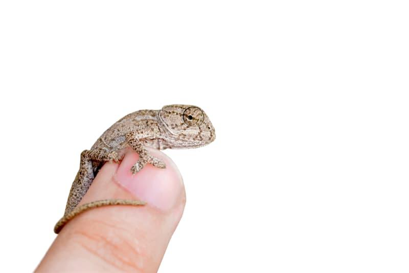 animals Story: Newborn Chameleon