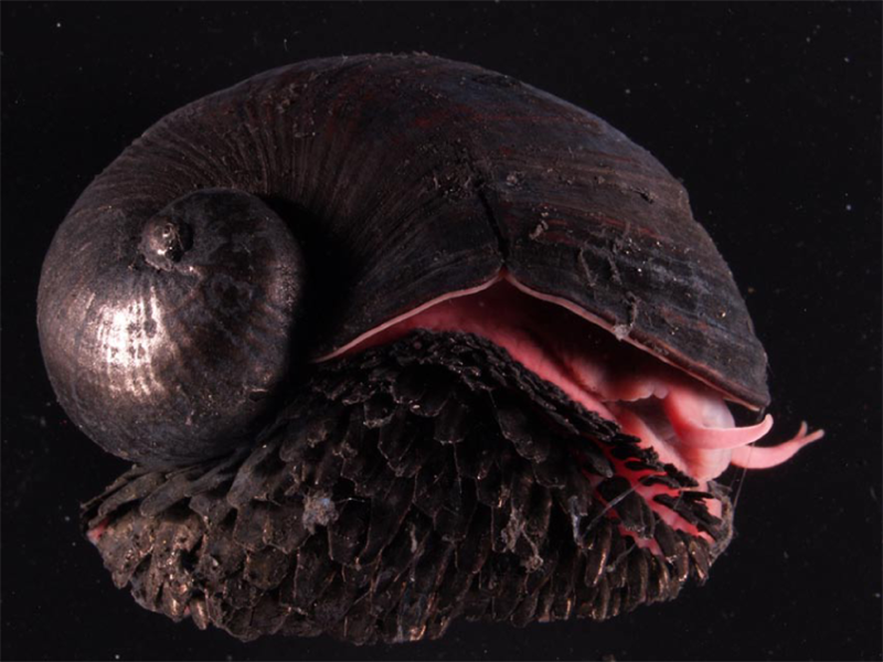 Nature Story: #3 A snail with iron shell and foot