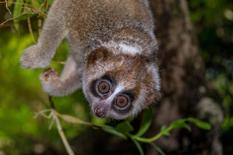 Nature Story: #5 Slow Lorises'  poisonous armpits