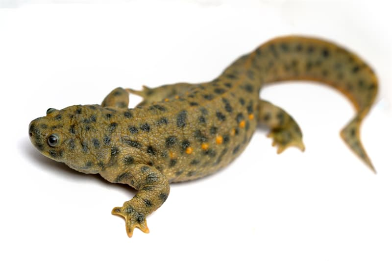 Nature Story: #6 Iberian ribbed newt can grow new parts of its body
