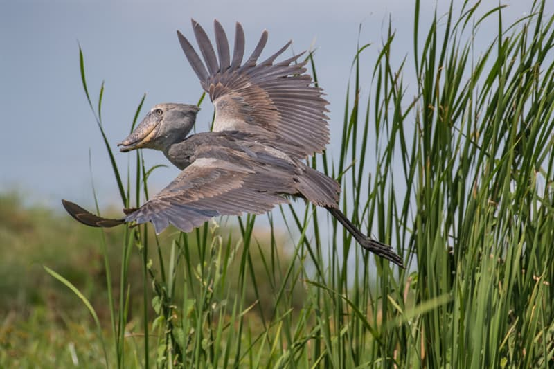 Nature Story: #7 A shoebill is a master in mannequin challenge