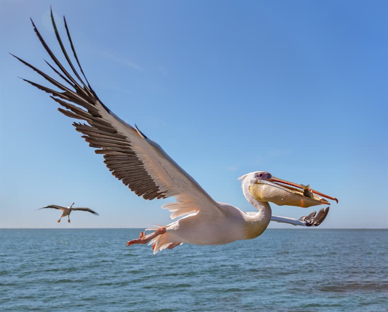 Nature Story: #8 A pelican breathes without nostrils