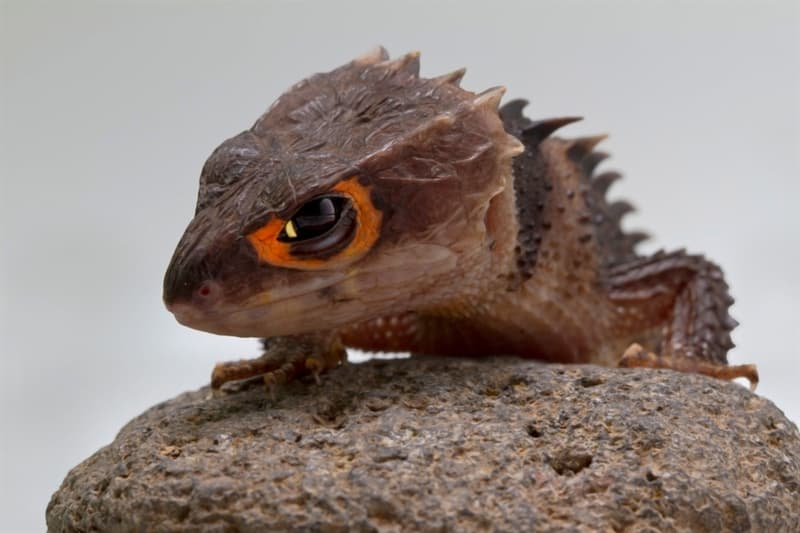 Nature Story: #9 Don't take a skink for a duck or a small dragon