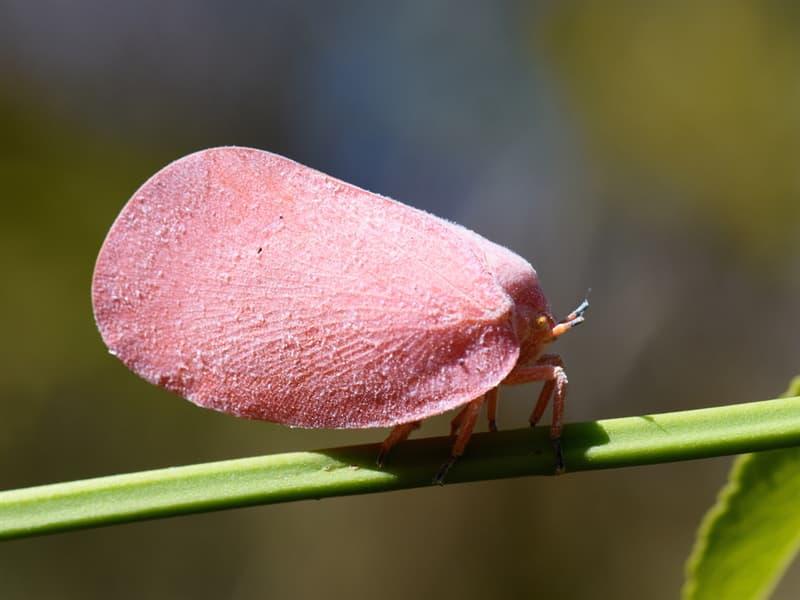 animals Story: Flatid Leaf Bug