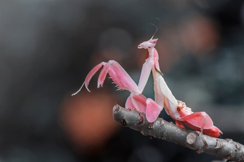 animals Story: Orchid Mantis