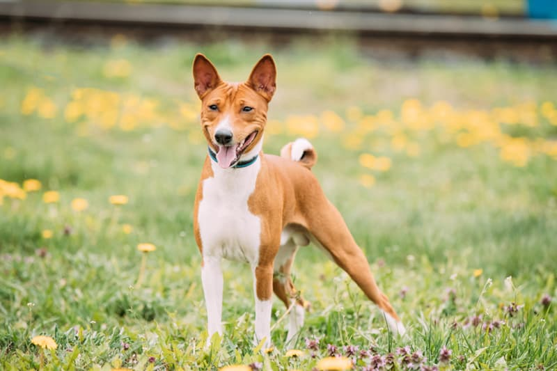 animals Story: #5 The only breed of dogs that can't bark is the basenji