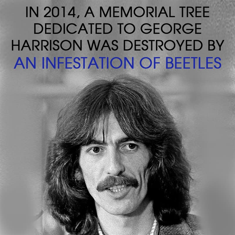 History Story: In 2014, a memorial tree dedicated to George Harrison was destroyed by an infestation of beetles